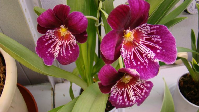 What Is Miltoniopsis Orchids