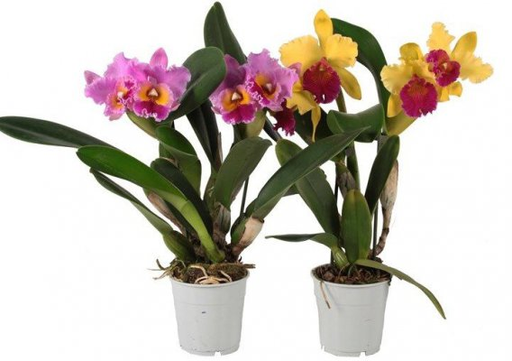 How To Repot Cattleya Orchids