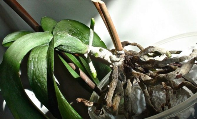Unhealthy Orchid Roots