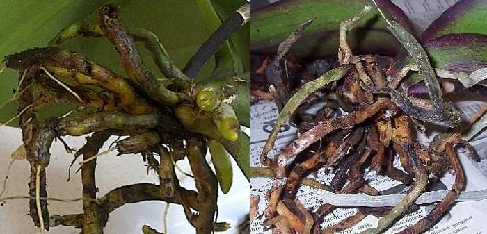 What Do Unhealthy Orchid Roots Look Like