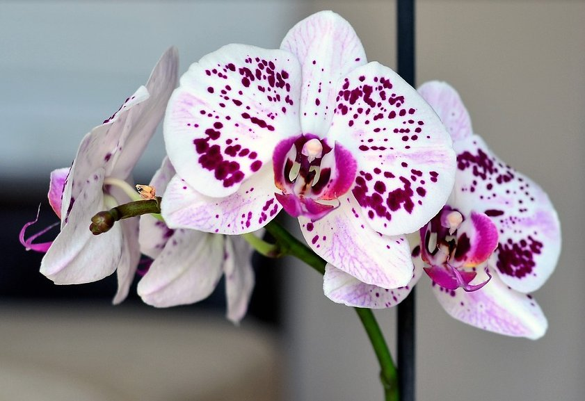 How To Care For Orchids In Bloom And In Growth Period
