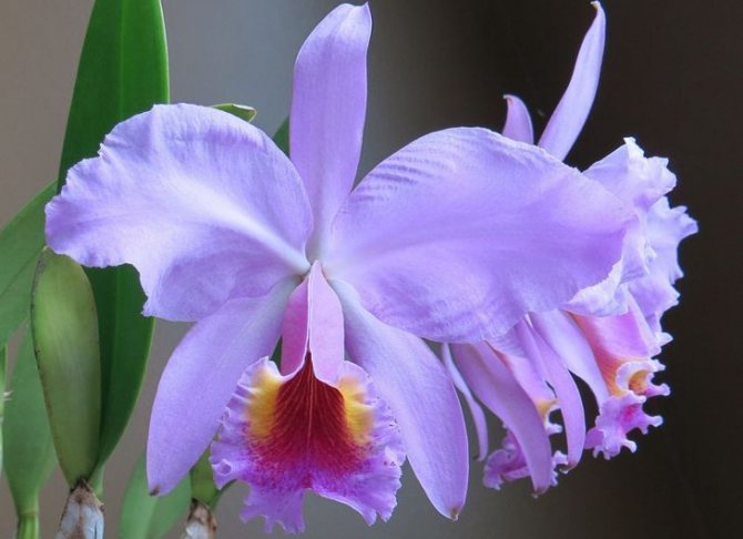 How To Propagate Cattleya Orchids