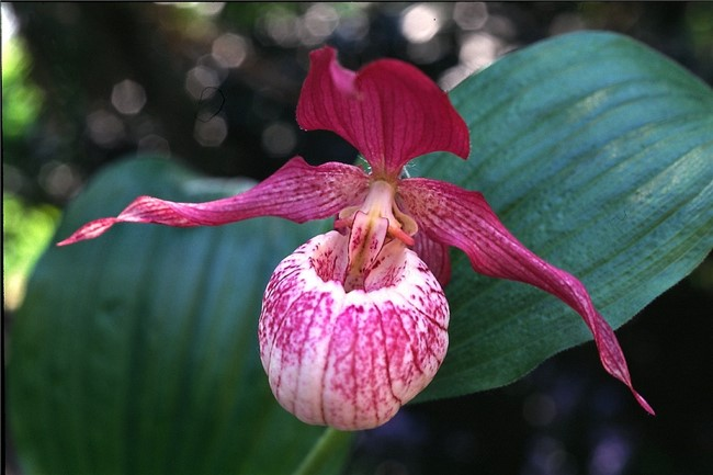 Ladys Slipper Orchids