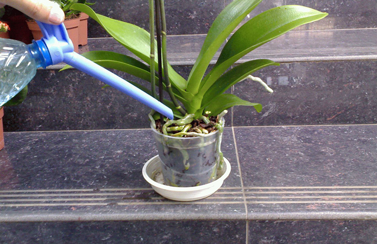 Watering Orchids After Repotting