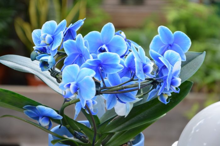 Are There Blue And Turquoise Orchid