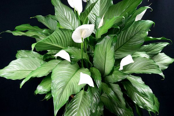 Blooming Shade Loving House Plants