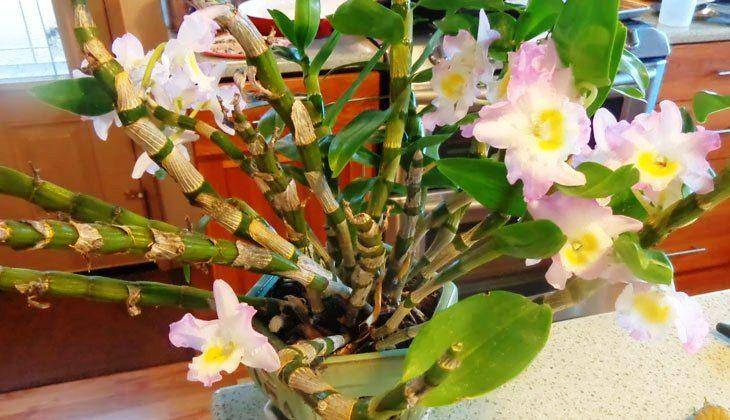 Complete Dendrobium Orchid Care After Flowering At Home