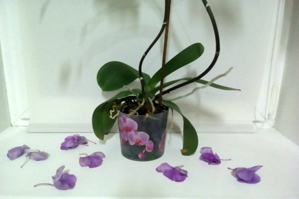 Do Orchid Buds Grow Back