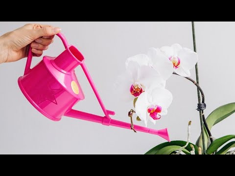 How Often Do You Water A Cattleya Orchid