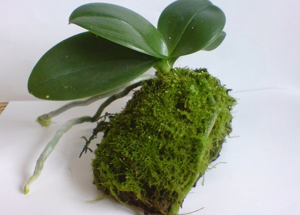 Sphagnum Moss For Orchids