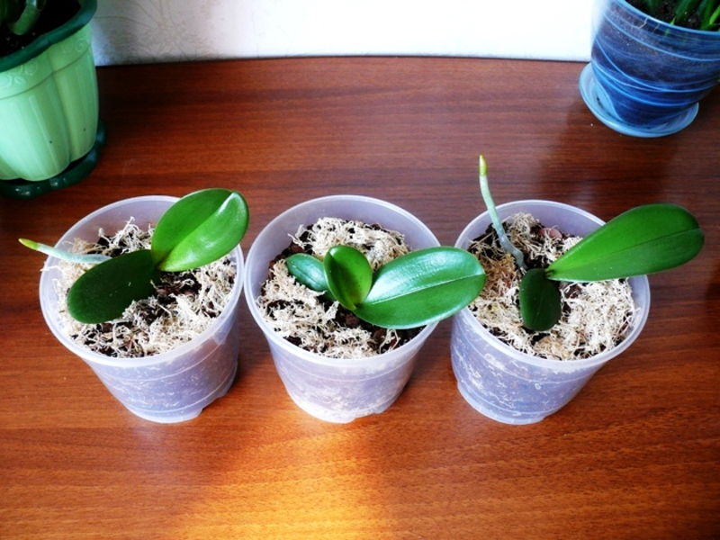When To Remove Baby Orchid For Translplant 2