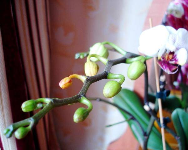 Why Are My Orchid Buds Falling Off