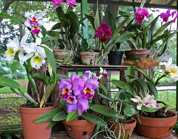 Caring For Cattleya Orchids
