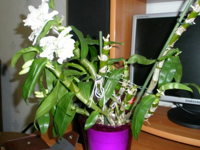 Dendrobium Orchid Care After Flowering