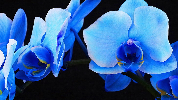 Dying Orchids Blue