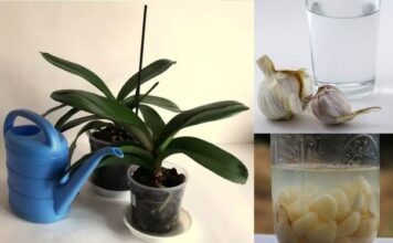 Garlic Water For Orchids