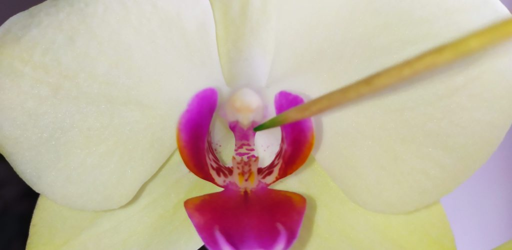 How To Pollinate Orchids 1