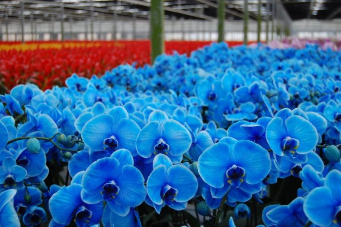 Natural Blue Orchids