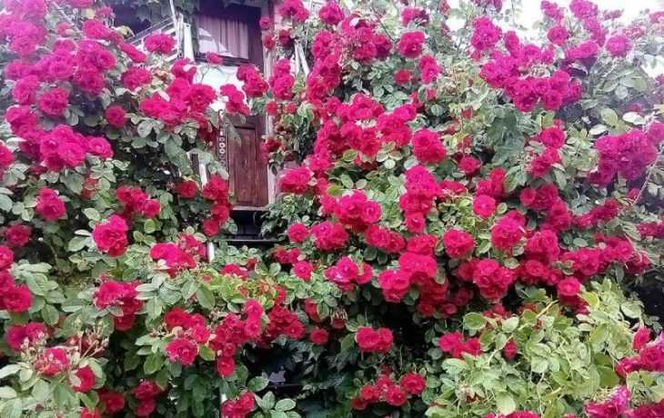 climbing rose Fast growing winter hardy climbing plants for fences