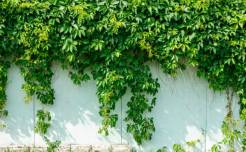 what is the best ivy to grow on fence 2
