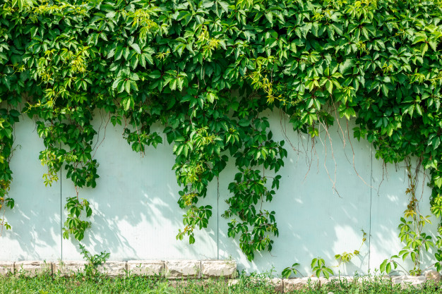 what is the best ivy to grow on fence