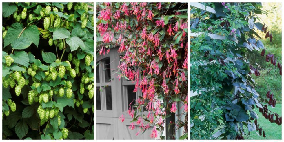 fast growing climbing plants for fences 1