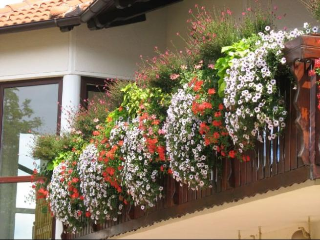 best ampel flowers for a sunny balcony