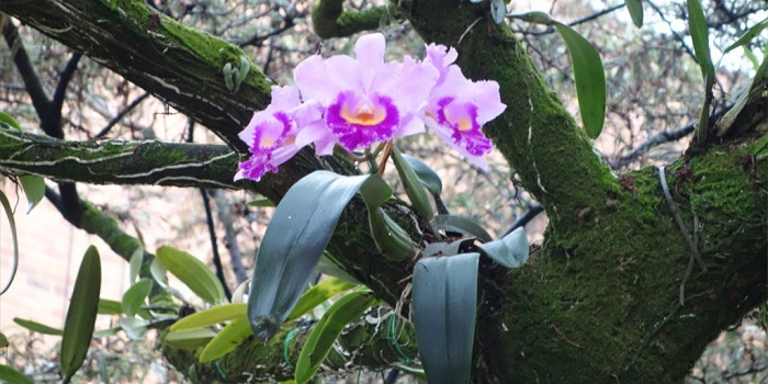 are orchids parasites or epiphytes
