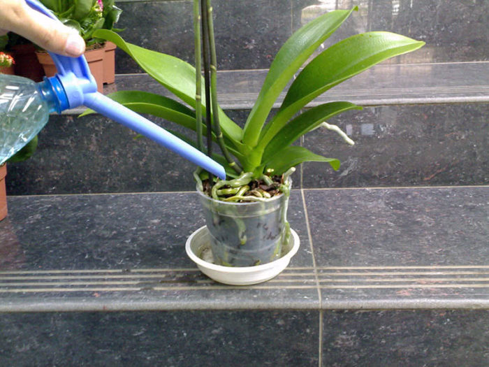 can orchids die from overwatering