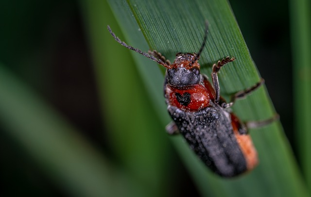 firefighter beetle red footed soft beetle benefits the garden