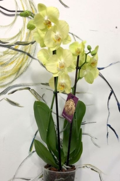 green lemon or lime color orchid