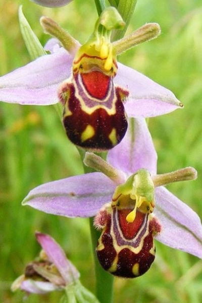 laughing bumblebee orchid
