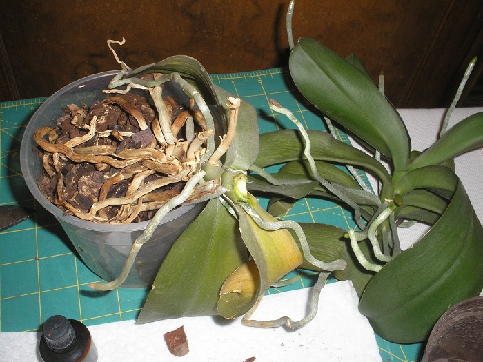 step by step guide to revive orchid phalaenopsis