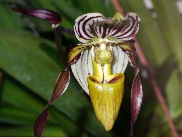 what do vietnam orchids look like