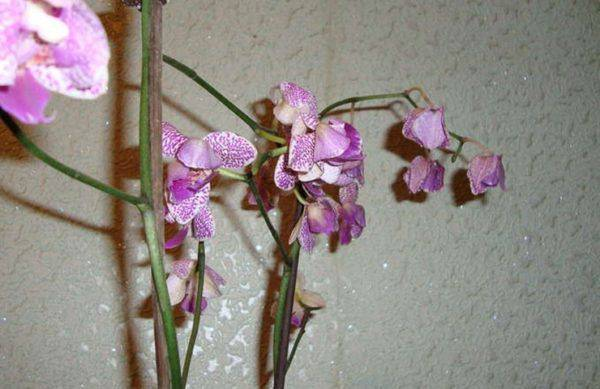 what happens after orchids flower pollinated
