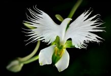 white heron orchid