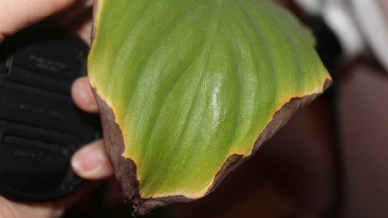 why do indoor plants dry leaf tips or edges