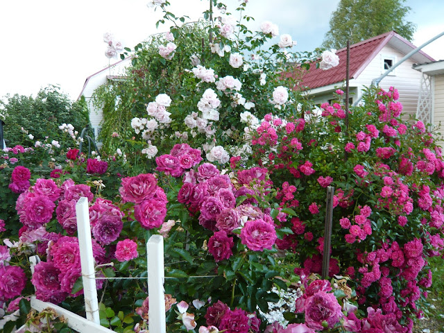 best varieties winter hardy roses and frost hardy