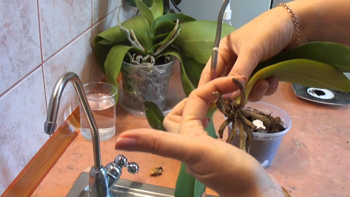 how to save dying orchid
