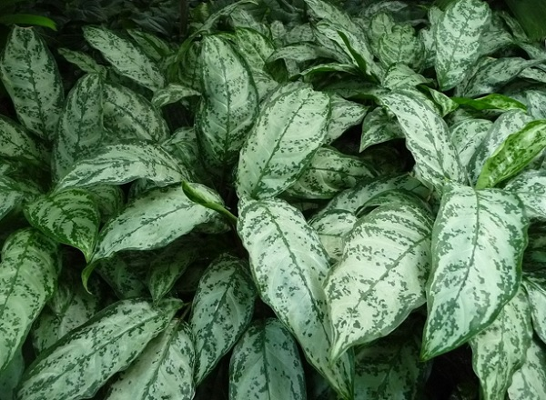 other aglaonema varieties and types 1