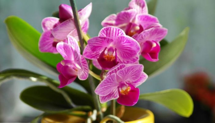 what to do if orchid growing new leaves but not flowers