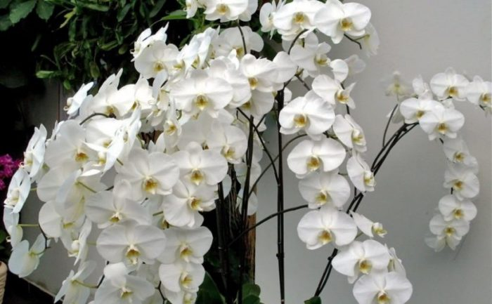white orchid flower plant