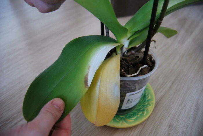 why orchid new growth leaves turning yellow
