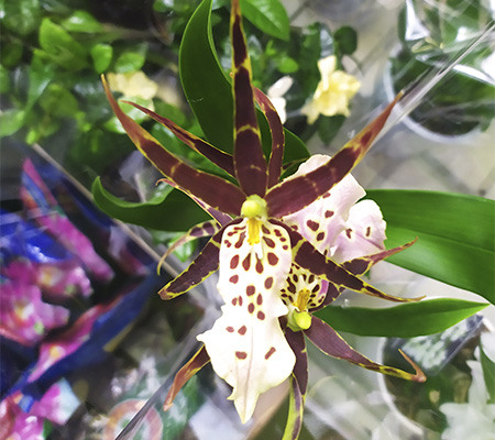 why are orchids so expensive