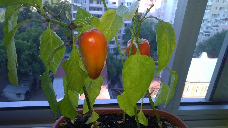 will bell pepper plants grow indoors