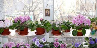 african violet light requirements