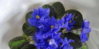 blue african violets with photos and names