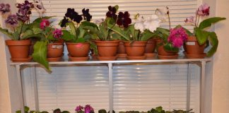 what kind of pot do african violets need