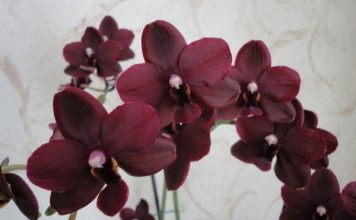burgundy and red orchids