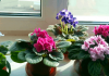 how do i get my african violet to bloom again